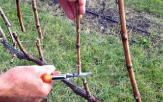 Как разводить виноград черенками осенью