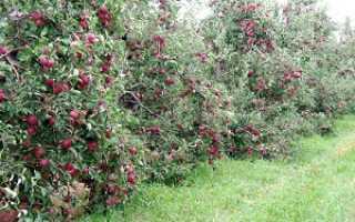 Карликовая яблоня посадка и уход