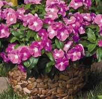 Особенности выращивания цветов катарантус из семян