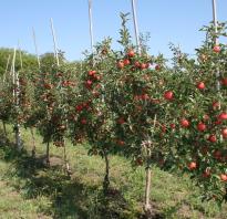 Яблоня на карликовом подвое розочка описание