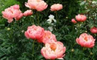 Как рассадить и сохранить кусты пионов