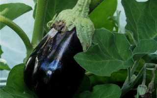 Выращивание баклажанов Вырастить рассаду баклажан дома