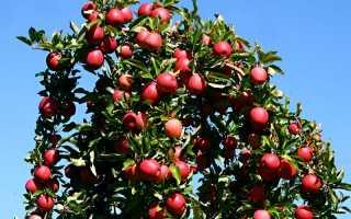 Первичное формирование кроны плодовых деревьев