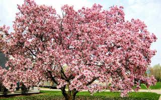 Виды магнолии Дерево магнолии в цвету