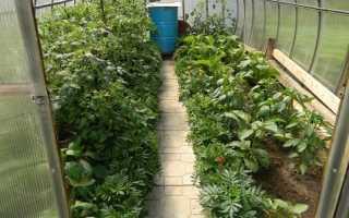 Паутинный клещ на комнатных растениях в теплице