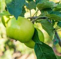 Лучшие колоновидные сорта яблонь для подмосковья