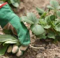 Можно ли рассаживать садовую землянику в августе