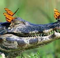 К чему снится огромный крокодил в воде