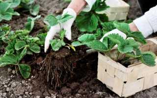 Как сажать клубнику осенью в открытый грунт