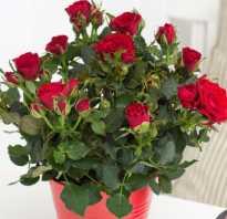 Комнатная роза уход и выращивание