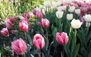 Когда сажать клубни тюльпанов осенью