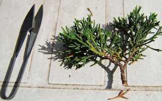 Как правильно вырастить можжевельник из ветки
