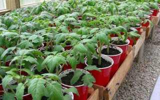 Подкормка цветущей рассады помидор