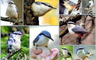 Сходства птиц пищуха и поползень