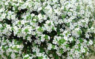 Выращивание бакопы из семян особенности фото