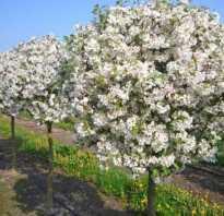 Размеры яблонь на карликовом подвое