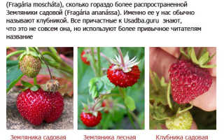 Можно ли посадить клубнику в августе