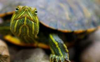К чему снится домашняя черепаха