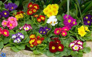 Сорта тенелюбивые цветы на огороде