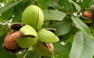 Грецкий орех дерево жизни