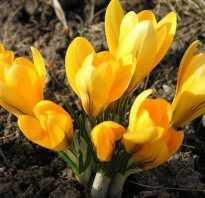 Крокусы как сажать весной