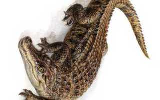 Сонник крокодил в мутной воде