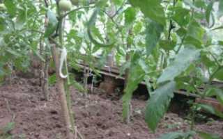 Зачем обрывают листья у помидор в теплице
