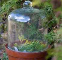 Как посадить можжевельник весной черенками