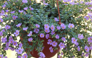 Цветок бакопа ампельная от семян до кашпо