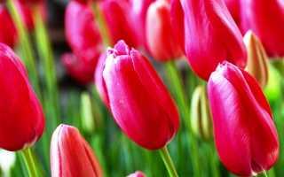 Как рассаживать тюльпаны осенью