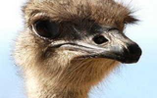 Как разводить страусов Эму в домашних условиях