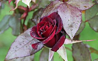 Розы посадка и уход осенью