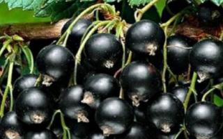 Черная смородина посадка и уход размножение