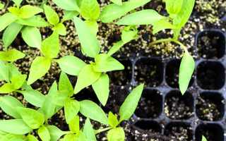 Когда посадить перец в грунт