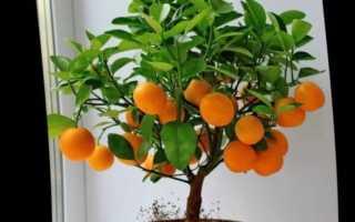 Уход в домашних условиях за мандариновым деревом
