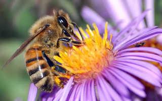 Интересные факты о домашних пчелах