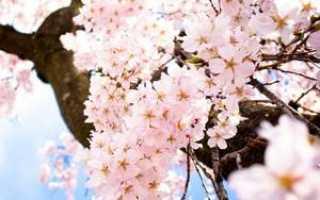 Сонник на деревьях распустились большие розовые цветы