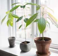 Как правильно выращивать авокадо из косточки