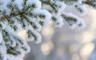 Как вырастить домашнюю елку