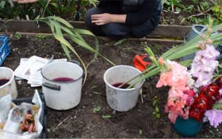 Подготовка гладиолусов к зиме