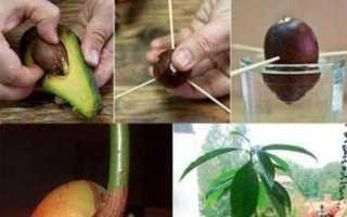 Как сформировать крону авокадо в домашних условиях