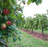 Карликовые сорта яблонь описание и уход