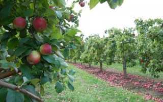 Карликовые яблони какие лучше сажать