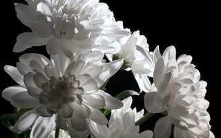 Хризантемы выращивание и уход размножение